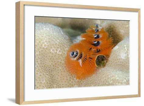 Christmas Tree Worm (Spirobranchus) Fiji-Pete Oxford-Framed Art Print