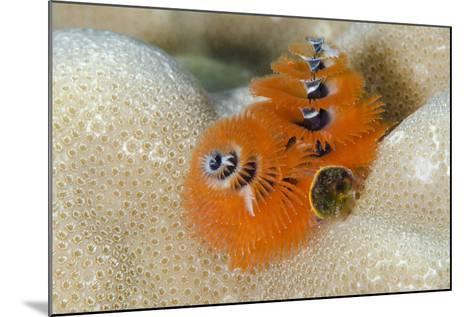 Christmas Tree Worm (Spirobranchus) Fiji-Pete Oxford-Mounted Photographic Print