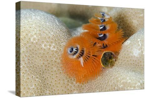 Christmas Tree Worm (Spirobranchus) Fiji-Pete Oxford-Stretched Canvas Print