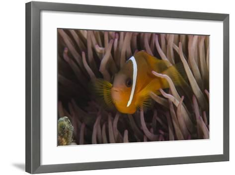 Fiji Anemone Fish Sheltering in Host Anemone for Protection, Fiji-Pete Oxford-Framed Art Print