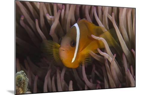Fiji Anemone Fish Sheltering in Host Anemone for Protection, Fiji-Pete Oxford-Mounted Photographic Print