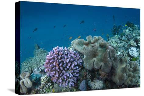 Leather Coral (Alcyonacea), Fiji. Coral Reef Diversity-Pete Oxford-Stretched Canvas Print