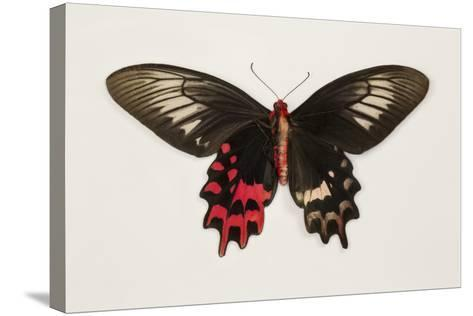 Female Batwing Butterfly, Top and Bottom Wing Comparison-Darrell Gulin-Stretched Canvas Print