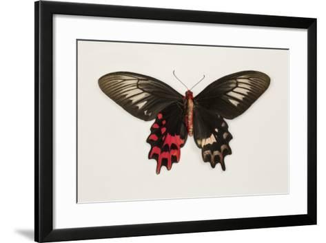 Female Batwing Butterfly, Top and Bottom Wing Comparison-Darrell Gulin-Framed Art Print