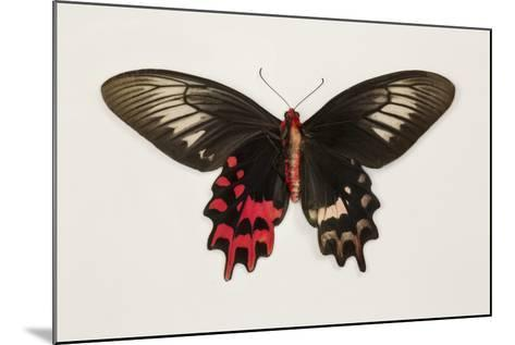Female Batwing Butterfly, Top and Bottom Wing Comparison-Darrell Gulin-Mounted Photographic Print