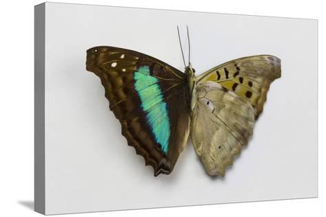 Turquoise Emperor Butterfly, Comparing the Top Wing and Bottom Wing-Darrell Gulin-Stretched Canvas Print