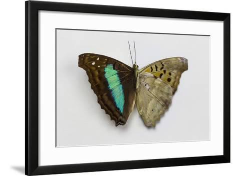 Turquoise Emperor Butterfly, Comparing the Top Wing and Bottom Wing-Darrell Gulin-Framed Art Print