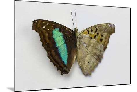 Turquoise Emperor Butterfly, Comparing the Top Wing and Bottom Wing-Darrell Gulin-Mounted Photographic Print