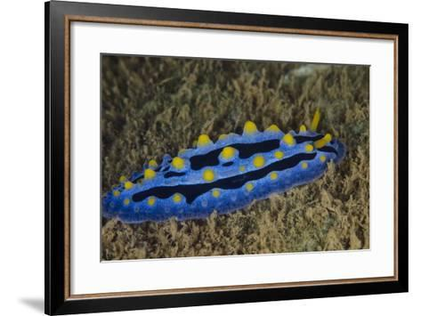 Sky Blue Phyllidia Dorid Nudibranch, Coral Reef, Fiji-Pete Oxford-Framed Art Print