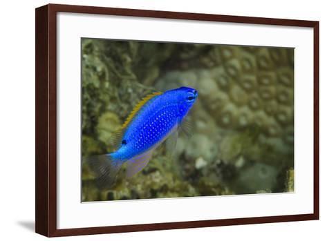 South Seas Devil Damselfish, Coral Reef, Koro Island, Fiji-Pete Oxford-Framed Art Print