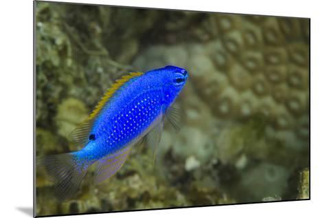 South Seas Devil Damselfish, Coral Reef, Koro Island, Fiji-Pete Oxford-Mounted Photographic Print