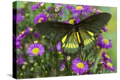Belus Swallowtail Butterfly on Small Pink Daisy-Darrell Gulin-Stretched Canvas Print