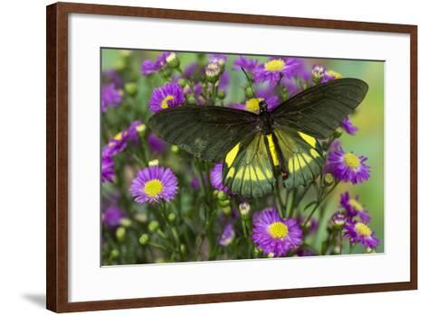 Belus Swallowtail Butterfly on Small Pink Daisy-Darrell Gulin-Framed Art Print