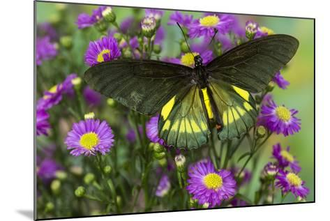 Belus Swallowtail Butterfly on Small Pink Daisy-Darrell Gulin-Mounted Photographic Print
