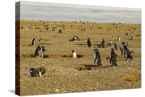 Chile, Patagonia, Isla Magdalena. Field of Magellanic Penguins-Cathy & Gordon Illg-Stretched Canvas Print
