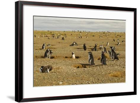 Chile, Patagonia, Isla Magdalena. Field of Magellanic Penguins-Cathy & Gordon Illg-Framed Art Print