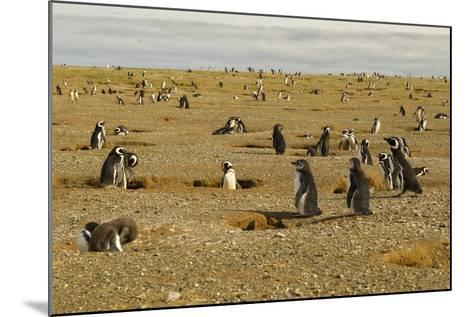 Chile, Patagonia, Isla Magdalena. Field of Magellanic Penguins-Cathy & Gordon Illg-Mounted Photographic Print