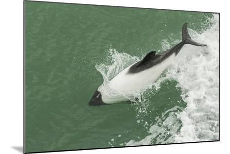 Chile, Patagonia, Straits of Magellan. Commerson's Dolphin Breaching-Cathy & Gordon Illg-Mounted Photographic Print