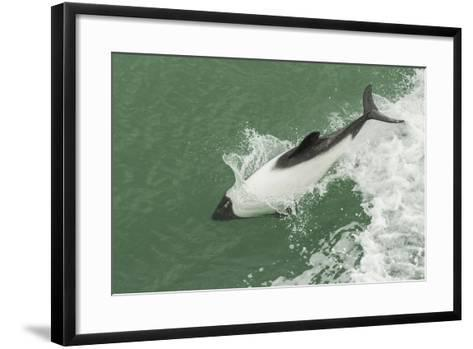 Chile, Patagonia, Straits of Magellan. Commerson's Dolphin Breaching-Cathy & Gordon Illg-Framed Art Print