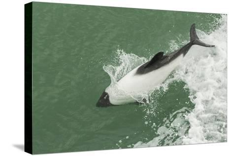 Chile, Patagonia, Straits of Magellan. Commerson's Dolphin Breaching-Cathy & Gordon Illg-Stretched Canvas Print
