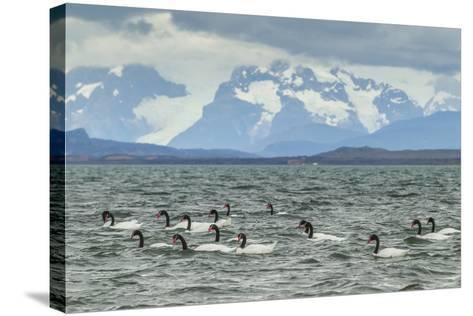 Chile, Patagonia, Ultima Esperanza Sound. Black-Necked Swans-Cathy & Gordon Illg-Stretched Canvas Print