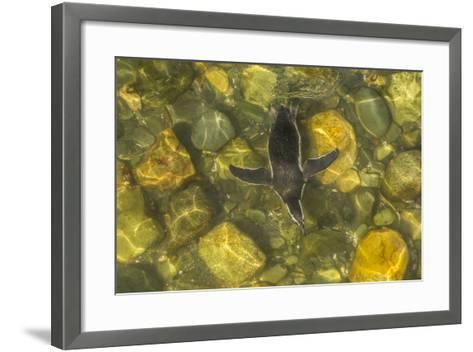 Chile, Patagonia, Isla Magdalena. Magellanic Penguin in Water-Cathy & Gordon Illg-Framed Art Print