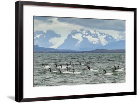 Chile, Patagonia, Ultima Esperanza Sound. Black-Necked Swans-Cathy & Gordon Illg-Framed Art Print