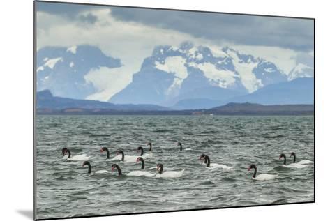 Chile, Patagonia, Ultima Esperanza Sound. Black-Necked Swans-Cathy & Gordon Illg-Mounted Photographic Print