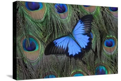 Blue Mountain Swallowtail Butterfly on Peacock Tail Feather Design-Darrell Gulin-Stretched Canvas Print