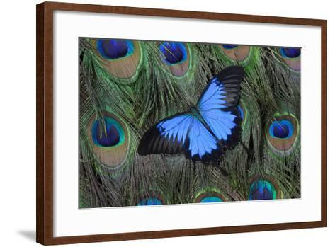 Blue Mountain Swallowtail Butterfly on Peacock Tail Feather Design-Darrell Gulin-Framed Art Print
