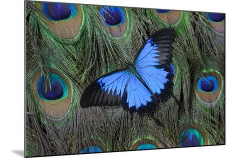 Blue Mountain Swallowtail Butterfly on Peacock Tail Feather Design-Darrell Gulin-Mounted Photographic Print
