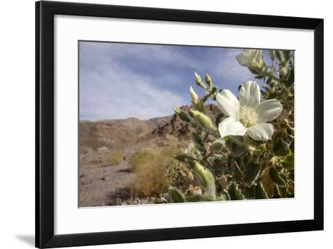Rock Nettle in Bloom, Death Valley National Park, California-Rob Sheppard-Framed Art Print