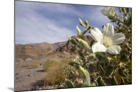 Rock Nettle in Bloom, Death Valley National Park, California-Rob Sheppard-Mounted Photographic Print