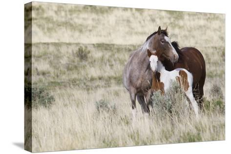 Wild Horses, Steens Mountains-Ken Archer-Stretched Canvas Print