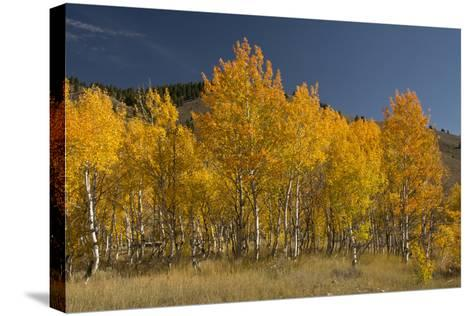 Autumn Colors, Boulder Mountains, Sawtooth National Forest, Idaho, USA-Michel Hersen-Stretched Canvas Print