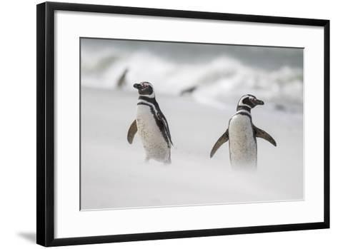 Magellanic Penguin on Beach. Falkland Islands-Martin Zwick-Framed Art Print