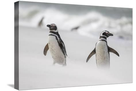 Magellanic Penguin on Beach. Falkland Islands-Martin Zwick-Stretched Canvas Print