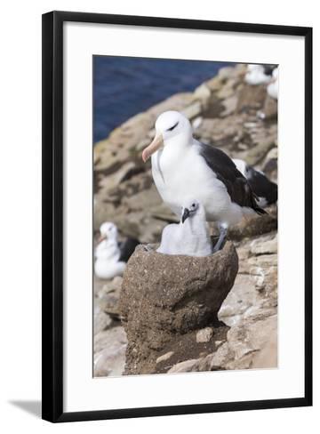 Mollymawk Chick with Adult Bird on Nest. Falkland Islands-Martin Zwick-Framed Art Print