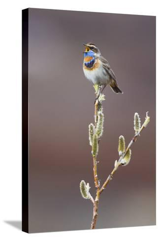 Bluethroat Singing-Ken Archer-Stretched Canvas Print