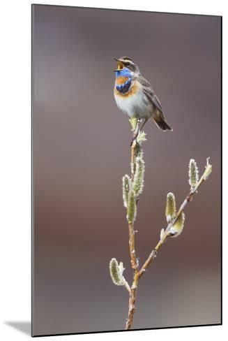 Bluethroat Singing-Ken Archer-Mounted Photographic Print