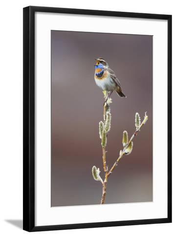 Bluethroat Singing-Ken Archer-Framed Art Print