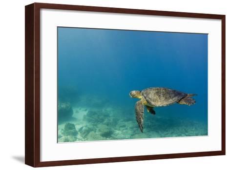 Galapagos Green Sea Turtle Underwater, Galapagos Islands, Ecuador-Pete Oxford-Framed Art Print