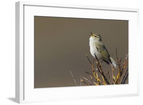 Arctic Warbler Singing-Ken Archer-Framed Art Print