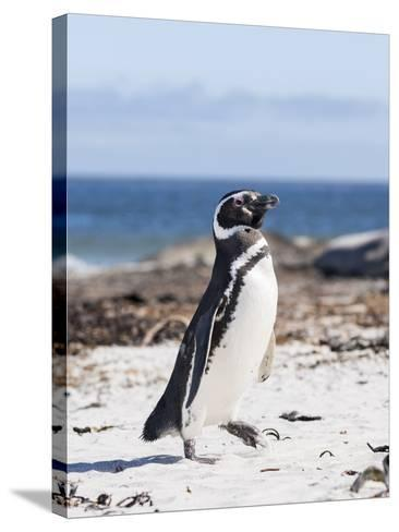 Magellanic Penguin on Beach. Falkland Islands-Martin Zwick-Stretched Canvas Print