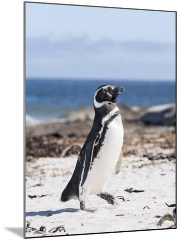 Magellanic Penguin on Beach. Falkland Islands-Martin Zwick-Mounted Photographic Print