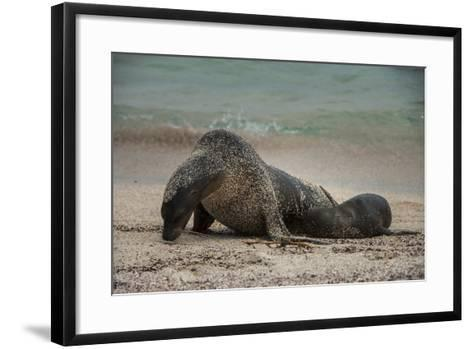 Galapagos Sea Lions Gardner Bay, Hood Island, Galapagos, Ecuador-Pete Oxford-Framed Art Print