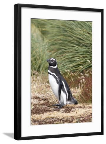 Magellanic Penguin, in Typical Tussock Environment. Falkland Islands-Martin Zwick-Framed Art Print