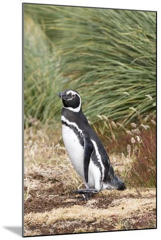 Magellanic Penguin, in Typical Tussock Environment. Falkland Islands-Martin Zwick-Mounted Photographic Print