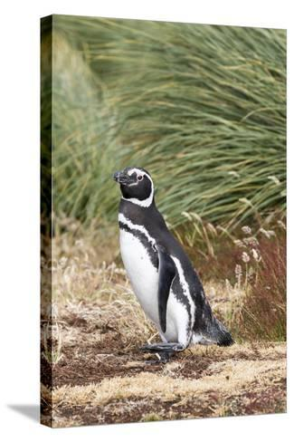Magellanic Penguin, in Typical Tussock Environment. Falkland Islands-Martin Zwick-Stretched Canvas Print