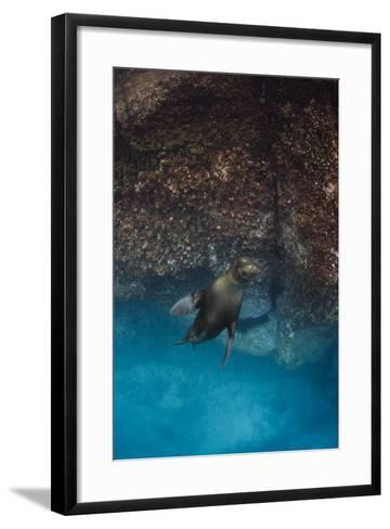 Galapagos Sea Lion Underwater, Galapagos, Ecuador-Pete Oxford-Framed Art Print